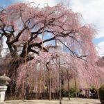 花見 一度は見たいオススメ桜